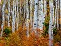 Aspen fire: Autumn in the Uintas