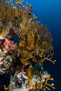 Fire coral and anthias in the Red Sea. Stock Images