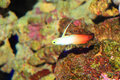 Fire goby Royalty Free Stock Images