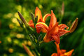Fire lily - Flower garden Royalty Free Stock Photo