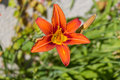 A fire lily with an open blossom Royalty Free Stock Photo