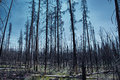 Fire ravaged woods yellowstone national park give quiet eerie feeling Stock Image