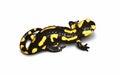 Fire salamander Stock Photos