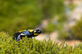 Fire salamander closeup of a on green moss Royalty Free Stock Images