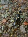 Fire salamander at national park biogradska gora montenegro salamandra salamandra near kolasin village Stock Photos