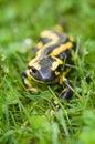 Fire salamander a salamandra salamandra Stock Image