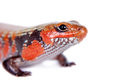 Fire skink isolated on white riopa fernandi background Royalty Free Stock Photo