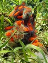 Fire sponge covered by suenson s brittle stars tedania ignis caribbean sea Stock Photo