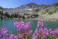 Fire Weed and White Pine Lake Stock Images