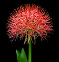 Fireball lily or blood lily over black background Stock Images