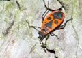 The firebug / Pyrrhocoris apterus Royalty Free Stock Images