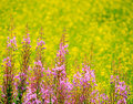Fireweed Royalty Free Stock Photography