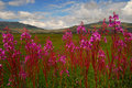 Fireweed Royalty Free Stock Images