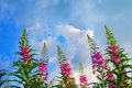 Fireweed Stock Images