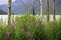 Fireweed Alaska Royalty Free Stock Photo