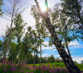 Fireweed blooming in a forest glade, the sun among  birch trees. Royalty Free Stock Photo