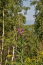 Fireweed Royalty Free Stock Photo