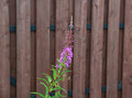 Fireweed flower on brown fence background of Stock Images