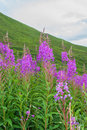 Fireweed growing along side of a mountain Royalty Free Stock Photography