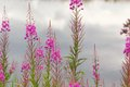 Fireweed grows on the waterfront netherlands Royalty Free Stock Image