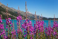Fireweed plants and flowers, Epilobium angustifolium Royalty Free Stock Photo