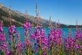 Fireweed plants and flowers, Epilobium angustifolium Royalty Free Stock Photo