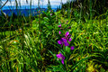 Fireweed, a purple Wild Flowers on Tod Mountain Royalty Free Stock Photo