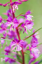 Fireweed .Shallow depth-of-field Stock Photos