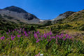 Fireweed wildflowers below firebrand pass this image of the pretty was taken in glacier national park mt Stock Photos