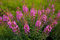 Fireweed wildflowers in a mountain meadow Royalty Free Stock Photos