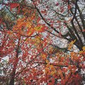 Firey autumn leaves brights colours of Royalty Free Stock Images