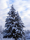 Firs big covered with snow Royalty Free Stock Photos
