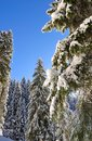 Firs covered by snow under blue sky Stock Photography