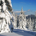Firs  under snow Stock Image