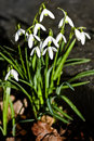 First blooming snowdrops in Februari sunshine Stock Photos