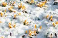 First crocus flowers blooming melting snow early spring Stock Images