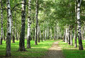 First days of autumn in the morning sunny birch forest september Stock Photo
