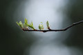 First leaves of spring branches background blur Stock Photography