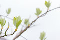 First leaves on tree in spring a Royalty Free Stock Images