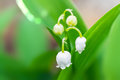 First lily of the valley Royalty Free Stock Photo