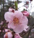 The First Peach Blossom in Georgia Royalty Free Stock Photo