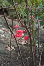The first signs of spring - bright red flowers on a bush Royalty Free Stock Photo