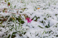 First snow flower grass autumn on a pink and green in Royalty Free Stock Images