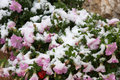 First snow at flowers in italian mountains while petunias still blooming october night the has fallen santo stefano di sessanio Stock Image