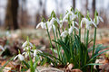 First Snowdrops Royalty Free Stock Image