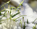 First snowdrops on snow Royalty Free Stock Photo