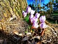 The first spring crocuses under the tree Royalty Free Stock Photo