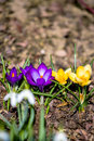 First spring flowers in garden one of the Royalty Free Stock Photography