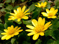 First spring flowers marsh marigold Royalty Free Stock Images