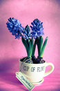 The first spring hyacinths in a ceramic cup Royalty Free Stock Images